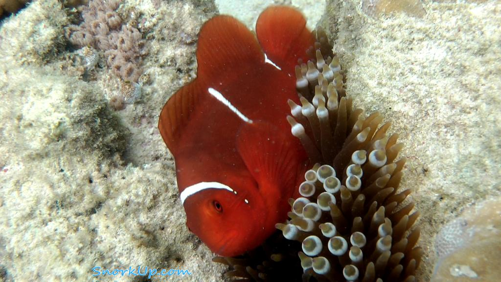 Premnas biaculeatus распространён на рифах Индо-Австралийского архипелага